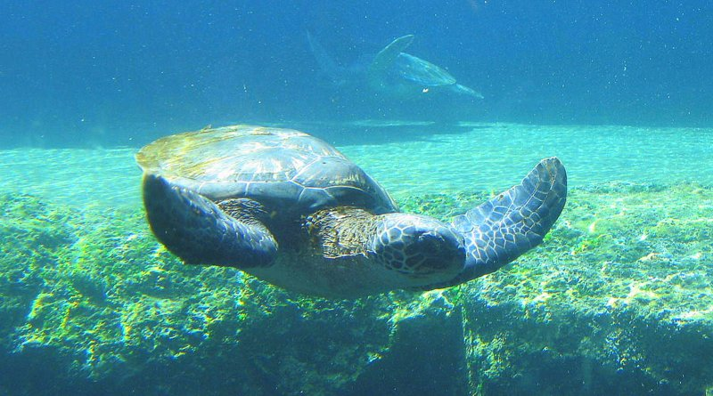Honu or green sea turtle at the Maui Ocean Center
